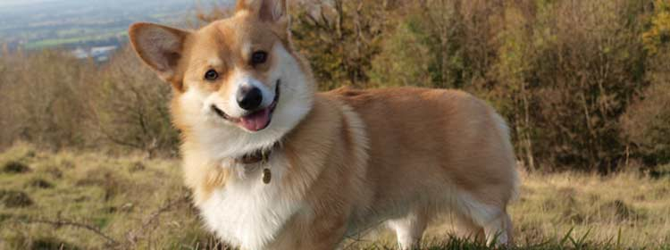 corgi Useful Tools for Populating Your Design With Sample Content